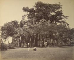 Banian tree in Barrackpore Park.